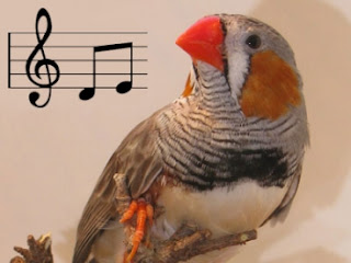 Burung Ciblek - Kelebihan dan Kelemahan Masteran Burung Elektronik Untuk Burung Ciblek - Penangkaran Burung Ciblek