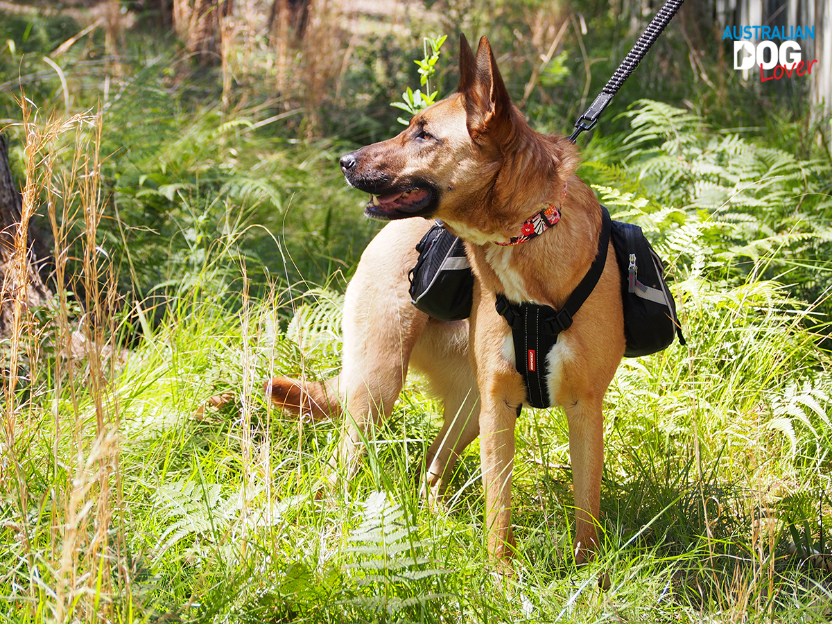 Aramis Malinois wears EzyDog Summit Dog Backpack - turning her head left