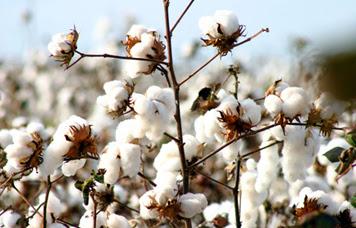 Muito algodão continua nas mãos dos produtores em Nampula