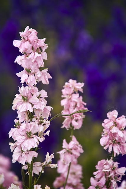 A purple background highlights the pink Delphiniums in the foreground www.martynferryphotography.com