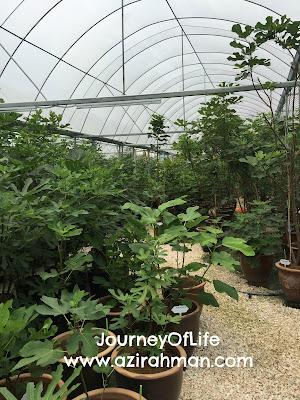 Lawatan Sambil Belajar Di Kebun Fig; buah tin