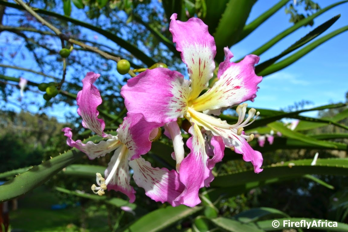 Firefly The Travel Guy A Flowering Kapok Tree Also Known