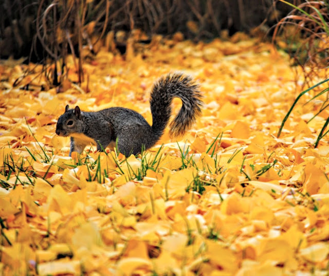 a squirrel surrounded by orange, fallen leaves, grass poking through.