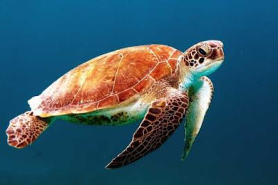 Jika berbicara mengenai reptil bercangkang yang dikenal memiliki gerakan cukup lambat Contoh Report Text about Turtle dan Arti Terjemahannya