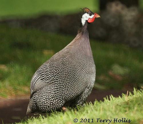 Guinea Fowl Wildlife The Wildlife
