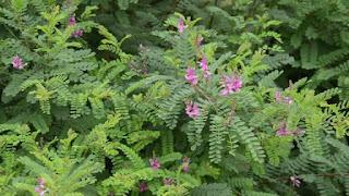 tumbuhan indigofera sangat potensial dalam membagun pertanian