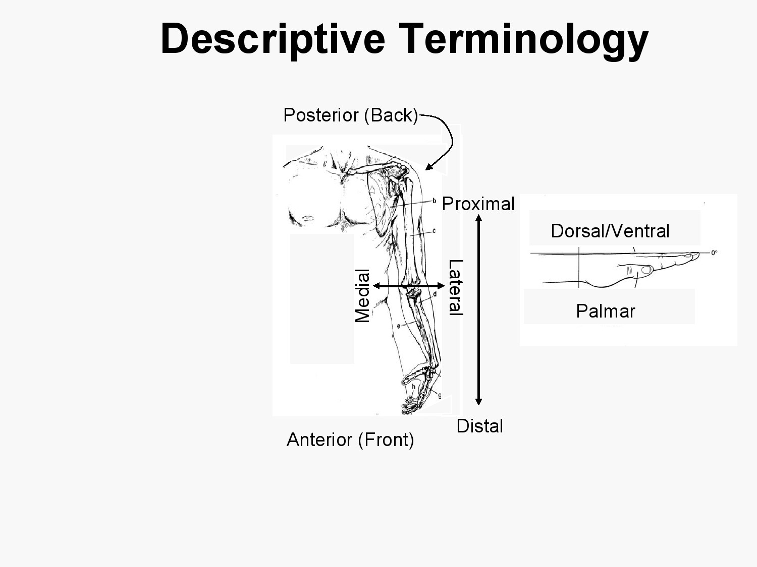 Blood Supply Venous Drainage Surface Anatomy And Nerve
