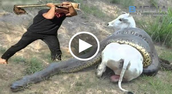 Penduduk Kampung TERKEJUT Tengok Lembu Dibelit Oleh Ular Dan Cuba Selamatkan dia, Saat Seterusnya..!!!