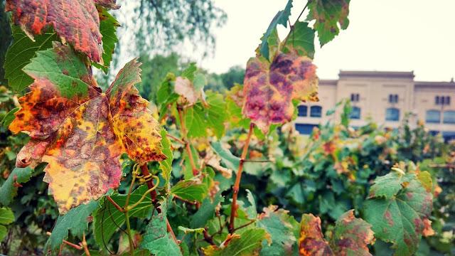 Parreiras coloridas de Outono na vinícola Trapiche, Mendoza, Argentina.