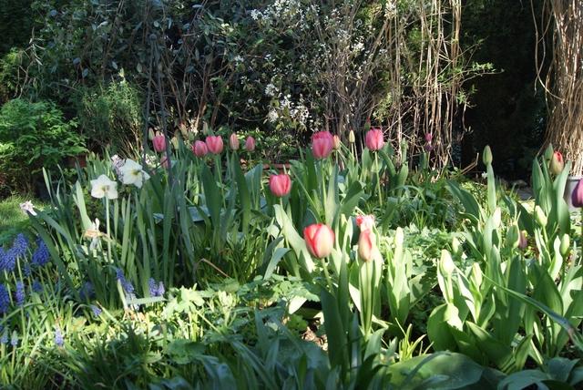 Darwin-Hybrid-Tulpen Pink Impression, Red Impression und Golden Appeldoorn