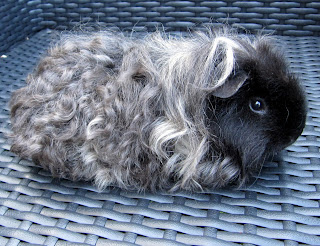 Texel Guinea Pig breed
