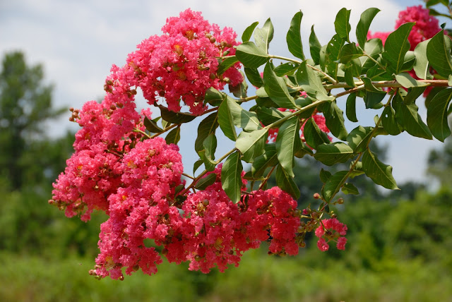 pink-crepe-myrtle-tree-.jpg