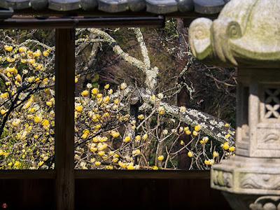 Mitsumata (Edgeworthia chrysantha) flowers: Jochi-ji