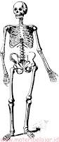 Tulang rangka pada manusia, Pengertian, fungsi, macam tulang rangka.