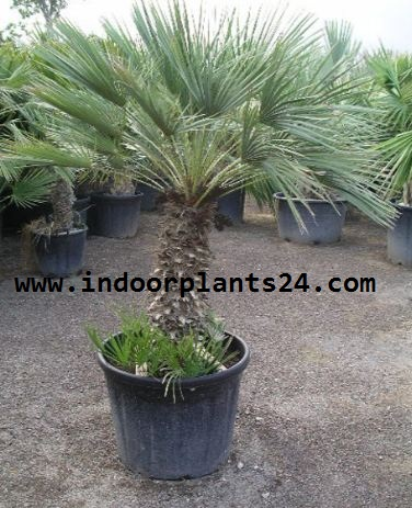 Chamaerops Humilis Palmae European Fan Palm