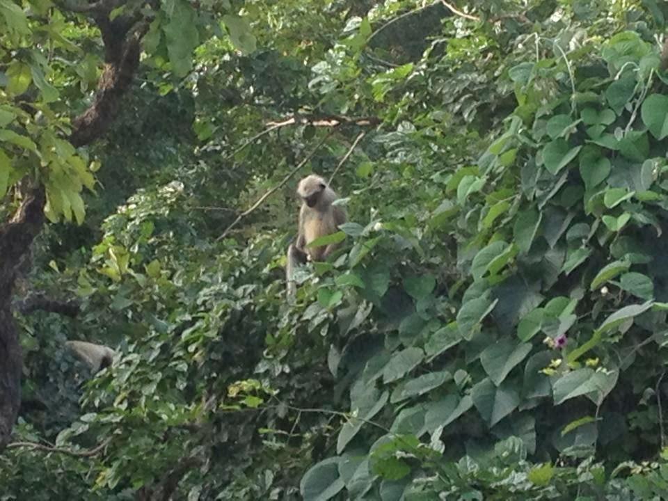 monkey in jungle of junagadh