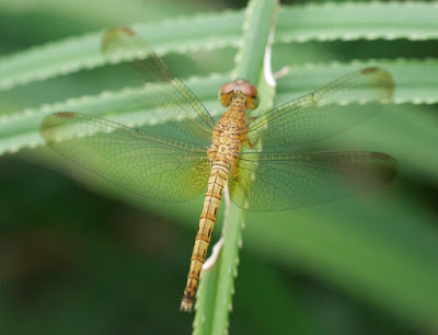 Neurothemis sp.