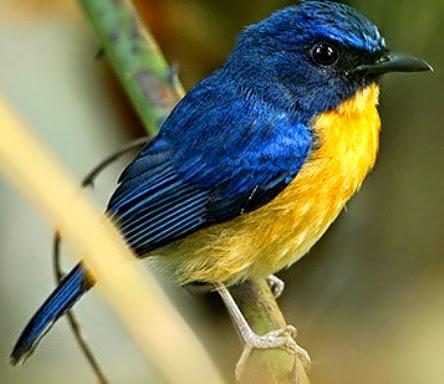 Burung Tledekan Tanah, Suara Burung Tledekan Tanah Download, Suara Burung Tledekan Tanah Mp3, Suara Tledekan Tanah Download, Suara Tledekan Tanah Mp3, Tledekan Tanah, Tledekan Tanah Download, Tledekan Tanah Mp3