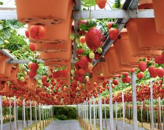 Agrowisata Kebun Rumah Strawberry Petik Sendiri di Lembang Bandung Jawa Barat Tempat Wisata Agrowisata Kebun Rumah Strawberry Petik Sendiri di Lembang Bandung Jawa Barat