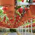 Agrowisata Kebun Strawberry Petik Sendiri di Lembang Bandung Jawa Barat
