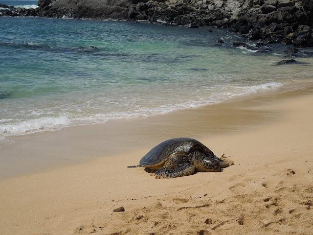 turtle on Ho'okipa Beach
