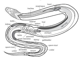 anatomi nama organ repti