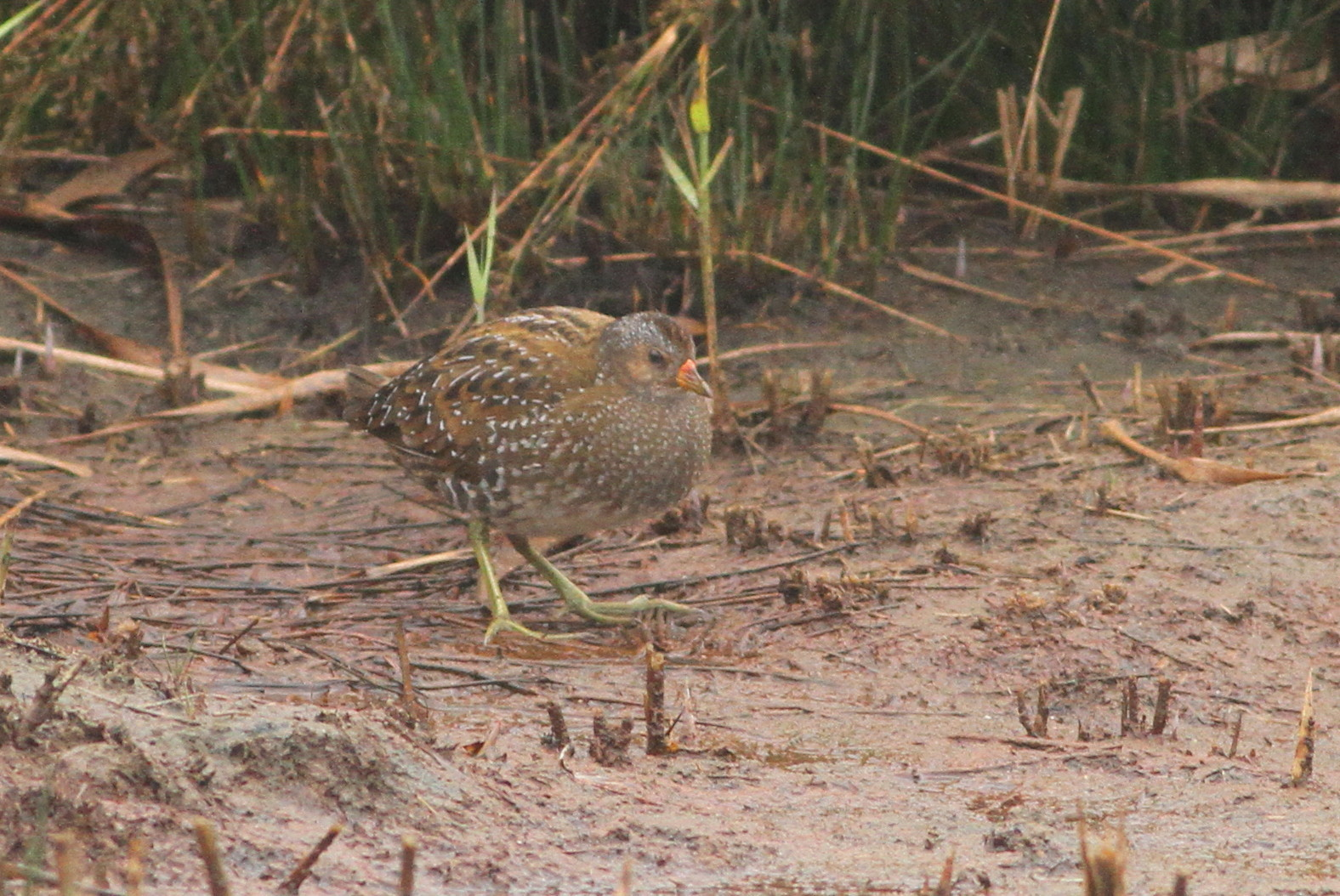 Gateshead and Beyond: Spotted Crake
