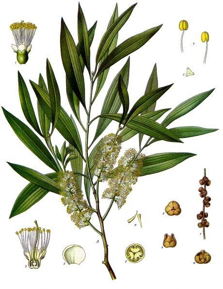 TRÀM VÀ TINH DẦU TRÀM - Melaleuca leucadendra - Nguyên liệu làm thuốc Chữa Ho Hen