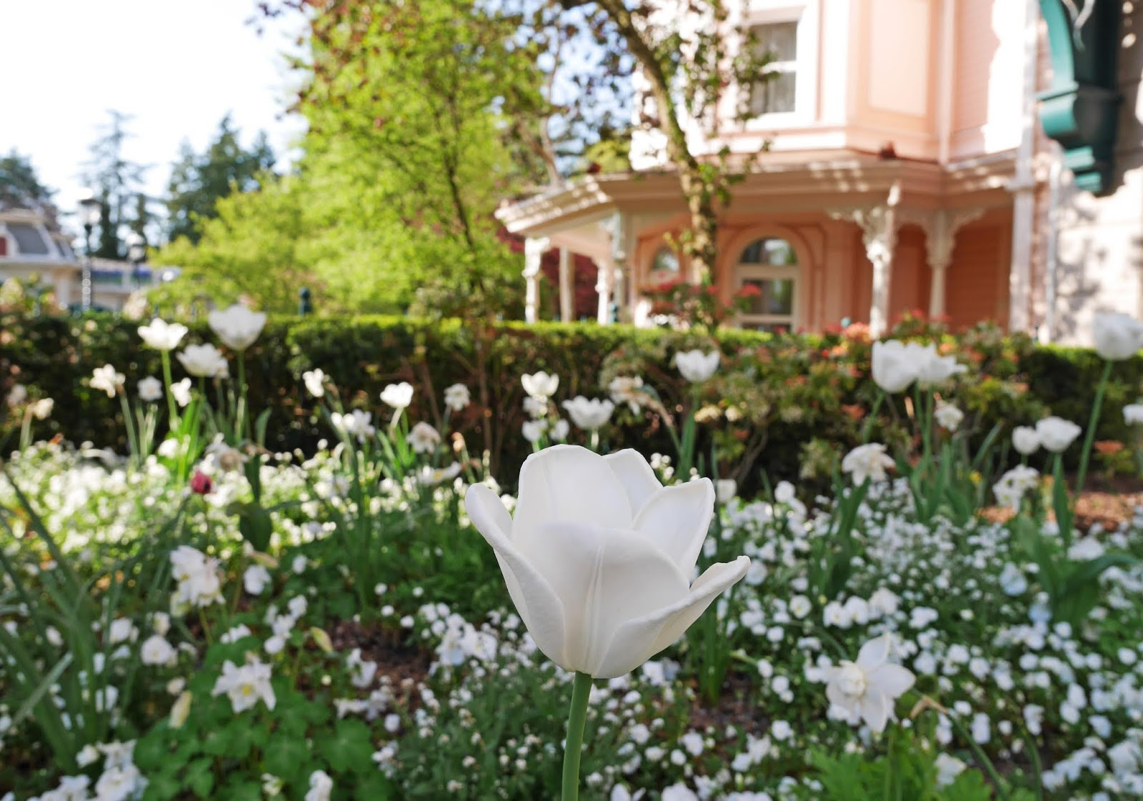 Tulips in front of the Disneyland Hotel at Disneyland Paris