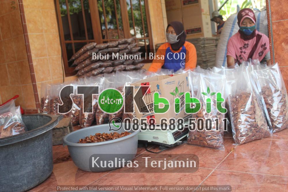 Penanaman Jabon Merah Untuk Menjaga Keseimbangan Alam  Di Kota Sidoarjo    Grosir     Unggul