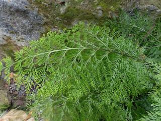Asplenium à feuilles de carotte - Asplenium daucifolium