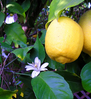 Wikipedia Lemon fruit and flower ; From en:, taken by Elf Apr 15, 2004, San Jose, California