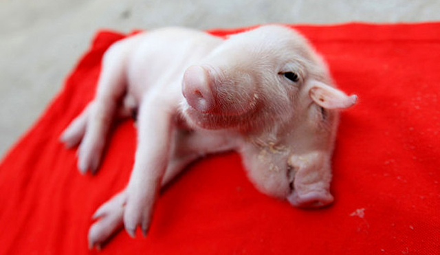 Babi-berkepala-dua-lahir-di-China