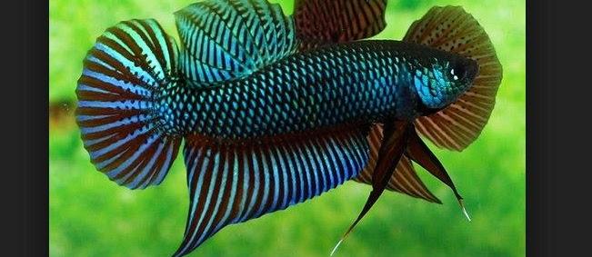 Peraturan Lomba Ikan Cupang Aduan Dalam Laga