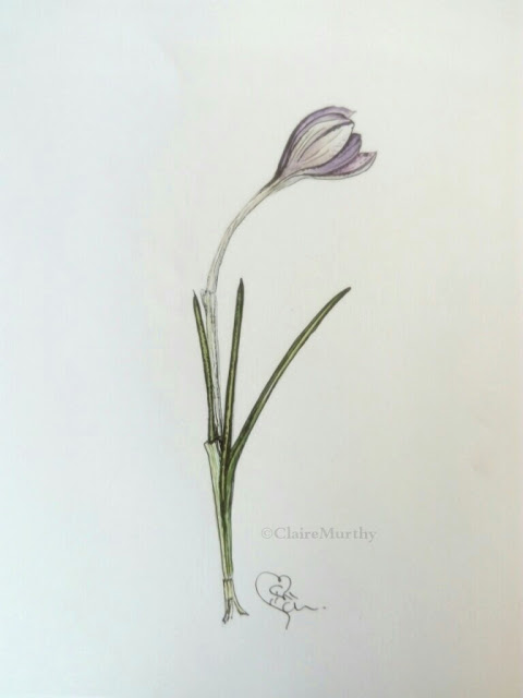 Botanical watercolour and ink study of a crocus bud. Watercolour painting blog post February.