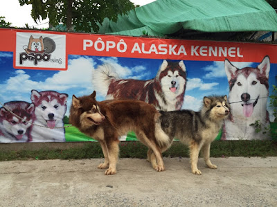 PôPô Alaska và quy trình phối giống alaska