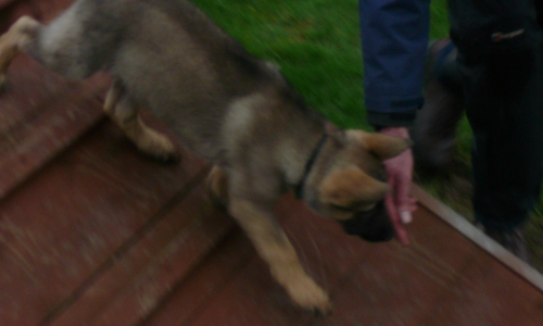 A german shepherd puppy following the hand of Paul glennon walking down a blank