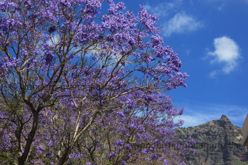 blau blühende bäume