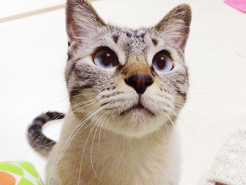 ぷくぷくマズルのシャムトラ猫