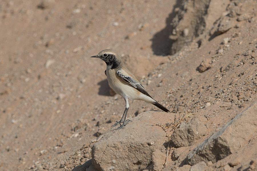 Desert Wheatear - male