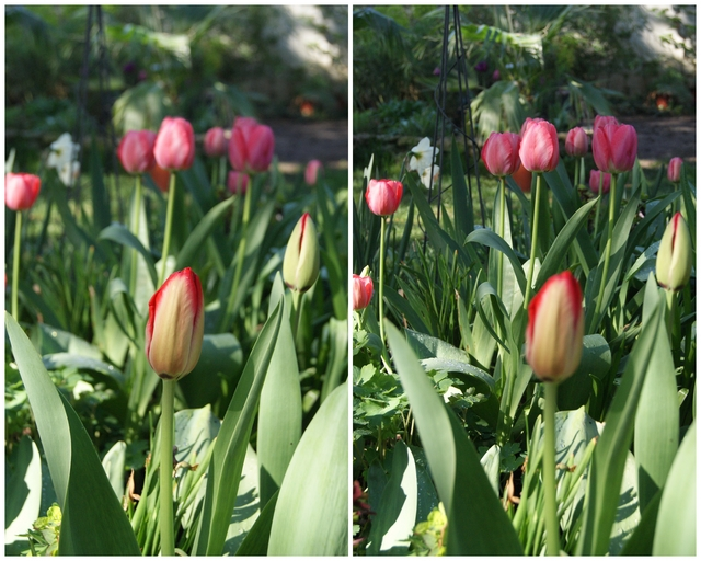 Darwin-Hybriden Pink und Red Impression