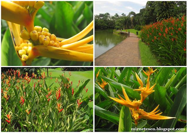 Ботанический сад Сингапура - геликонии