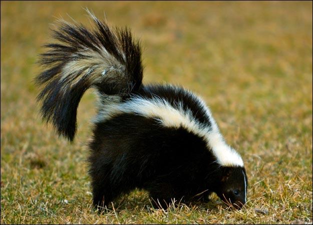 Skunk Animal | Animals Blog