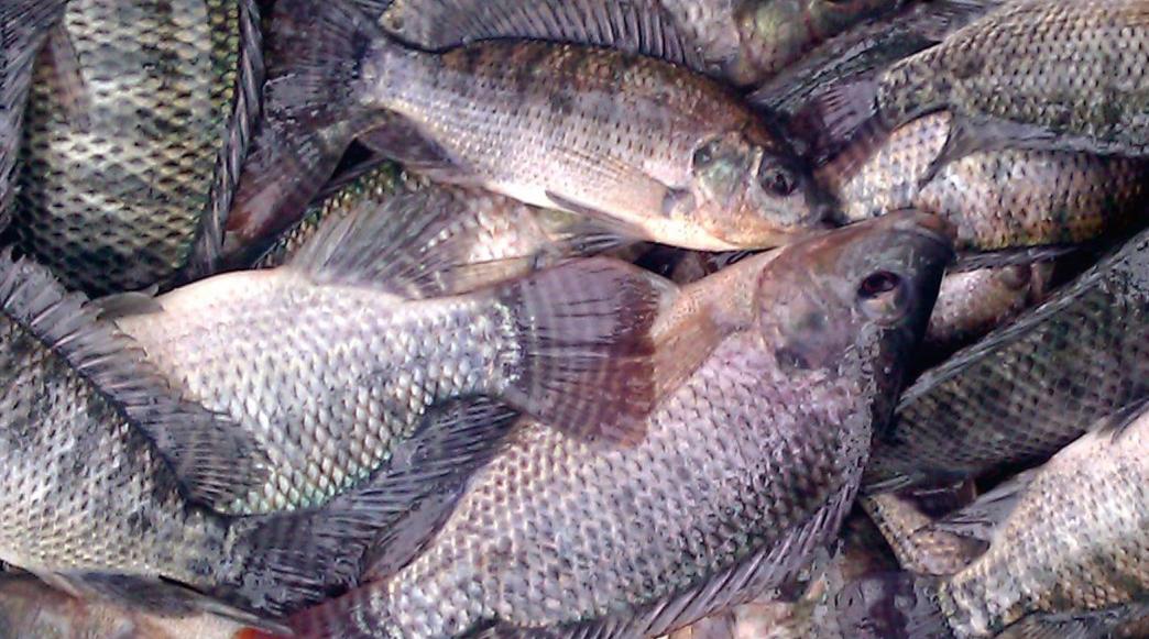 odal ternak ikan nila dengan harga mahal