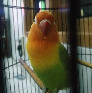 Cara Terbaik Dalam Memasterkan Burung Lovebird