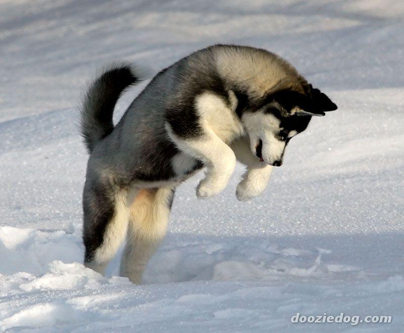 Siberian husky puppies wallpaper « Nat Geo Adventure