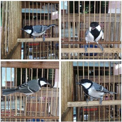 Dunia Burung Perawatan Burung Gelatik Batu Harian Jadi Gacor Rahasia Master
