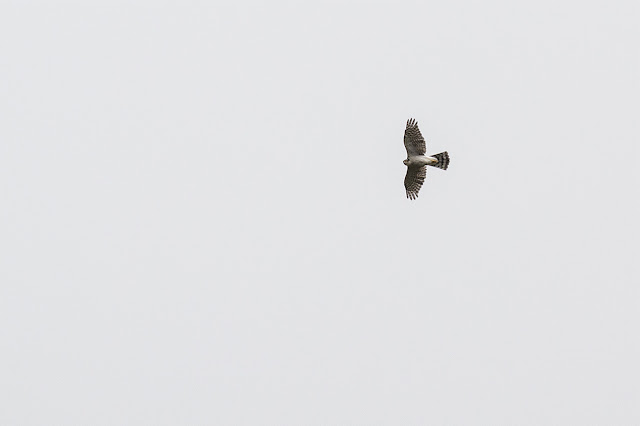 High Flying Sparrowhawk
