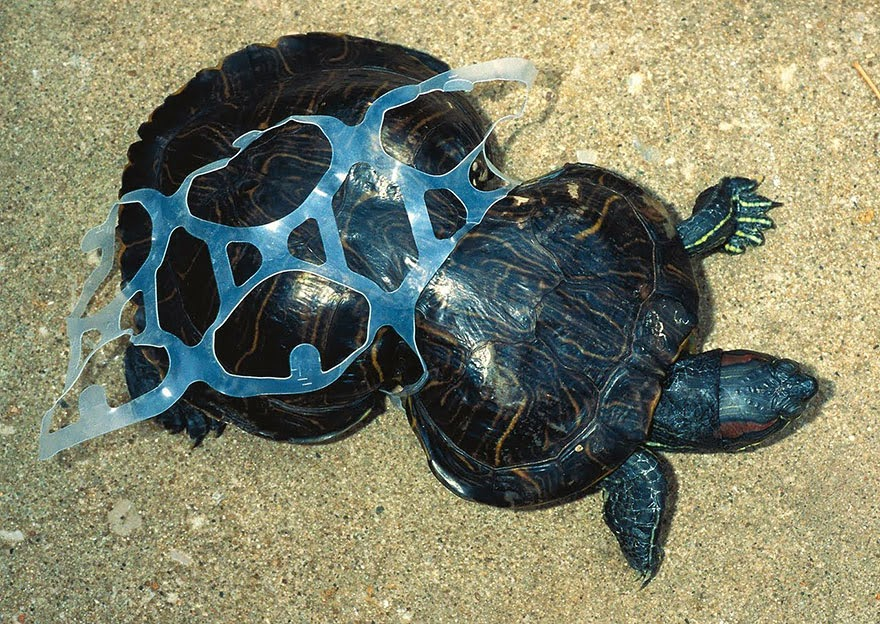 You Will Want To Recycle Everything After Seeing These Photos! - A Tortoise Trapped In Plastic