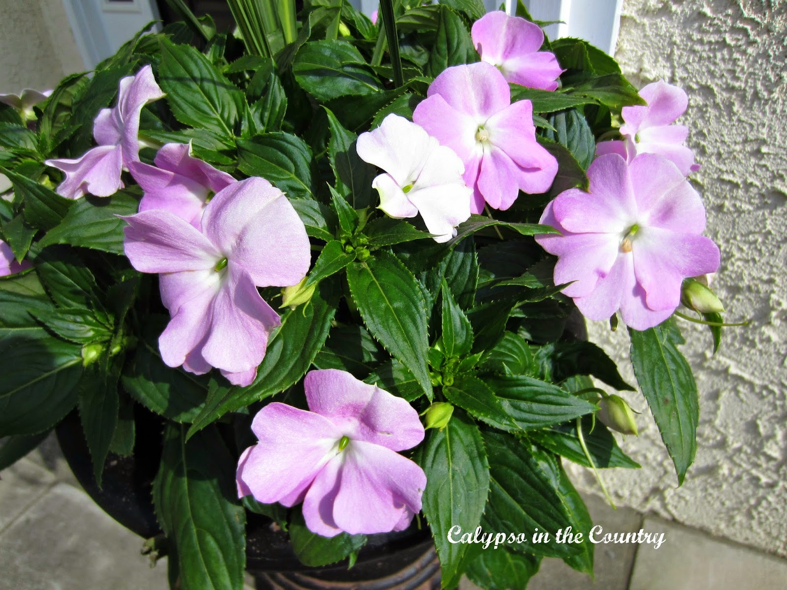 Impatiens for spring
